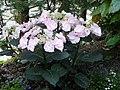 Hortensia - panoramio (1).jpg