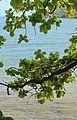 Huilua Pond, Hauula - panoramio (1).jpg