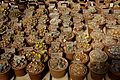 Huntington Gardens 01 - Lithops.jpg
