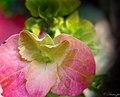 Hydrangea macrophylla - panoramio.jpg