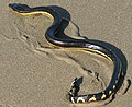 Hydrophis platurus.jpg