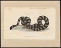 Hydrus colubrinus - 1700-1880 - Print - Iconographia Zoologica - Special Collections University of Amsterdam - UBA01 IZ11800139.tif