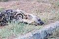 Hyena (2246370871).jpg