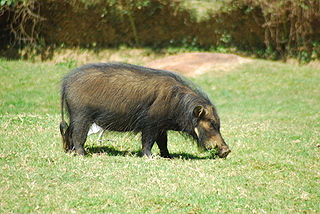 Giant forest hog species of mammal
