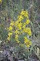 Hypericum perfoliatum-2865.jpg