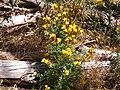 Hypericum perforatum plant belair park.jpg