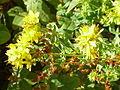 Hypericum quadrangulum1.jpg