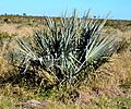 Hyphaene coriacea, Krugerwildtuin.jpg