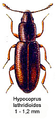 Hypocoprus lathridioides.png