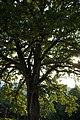 ID 728 Quercus Mönichwald 0009.jpg