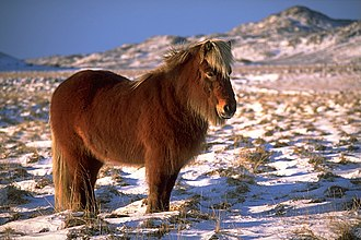 Culture of Iceland - An Icelandic horse in winter.