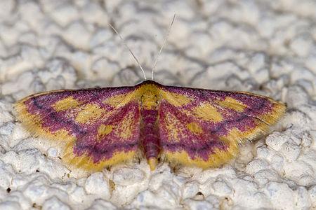 Idaea muricata, Lodz(Poland)01(js).jpg