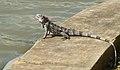 Iguana VI.jpg