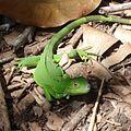 Iguana iguana (Iguanidae) (Common Green Iguana) - (immature), Tortuguero NP, Costa Rica.jpg