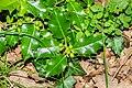 Ilex aquifolium in Aveyron (1).jpg