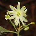 Illicium anisatum (flower s9).jpg