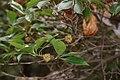 Illicium anisatum (fruits s9).jpg