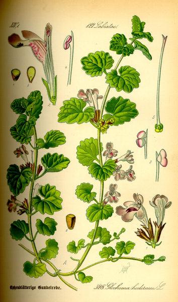 Plik:Illustration Glechoma hederacea0.jpg