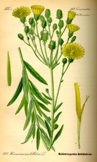 Illustration Hieracium umbellatum0