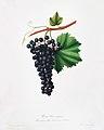 Illustration from Pomona Italiana Giorgio Gallesio by rawpixel00048.jpg