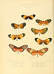 Illustrations of new species of exotic butterflies Ithomia XXIX.jpg