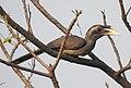 Indian Grey Hornbill Ocyceros birostris female by Dr. Raju Kasambe DSCN4231 (8).jpg