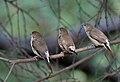 Indian Silverbills (Lonchura malabarica) at Sindhrot near Vadodara, Gujrat Pix 140.jpg