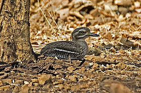 Indian Stone Curlew.jpg
