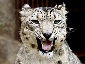 English: snow leopard