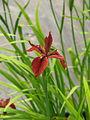 Iris fulva (13982070028).jpg