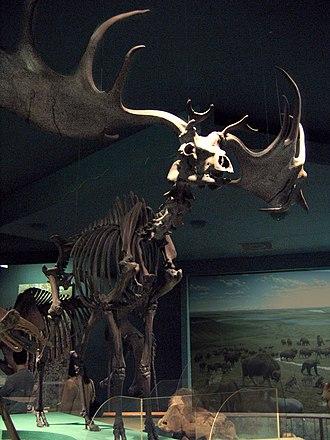 Megaloceros - Skeleton of Megaloceros giganteus