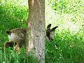 Isard jeune Argelès-Gazost parc animalier (1).JPG