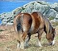 Islanddrafthorse.jpg