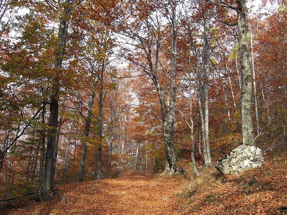 Jablanik - zapadna Srbija - mesto Debelo brdo - Na putu ka vrhu Jablanika - Bukova šuma u jesen 2