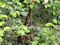 Java Sparrow.jpg