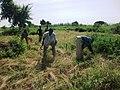 Jeunes du village aidant une famille pour la moisson du fonio (Mali) 1.jpg