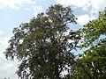 Jf5933Lubao San Nicolas Chrysophyllum cainito Pampangafvf 06.JPG