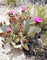 Joshua Tree National Park - Beavertail Cactus (Opuntia basilaris) - 20.jpg