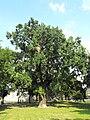 Juhász Gyula tree Makó.jpg
