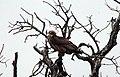 Juvenile Bateleur Eagle (38105080666).jpg