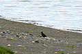 Juvenile Black Oystercatcher - 3347761770.jpg