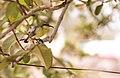 Juvenile Female Purple Sunbird (Cinnyris asiaticus).jpg