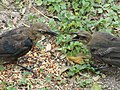 Juvenile Great-Tailed Grackles Feeding.jpg