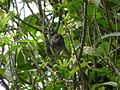 Juvenile Grey Warbler.JPG