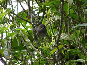Grey warbler - Juvenile grey warbler