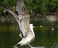 Juvenile Gull - wings spread.jpg