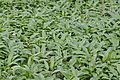 Kühkopf-Knoblochsaue Bärlauchpflanzen.jpg