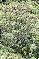 K. linearis trees.jpg