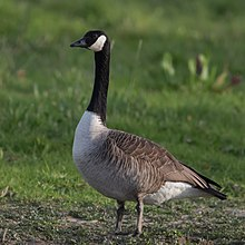 catalogue canada goose