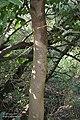 Kanju (Holoptelea integrifolia) trunk I Vadodara Pix 027.jpg